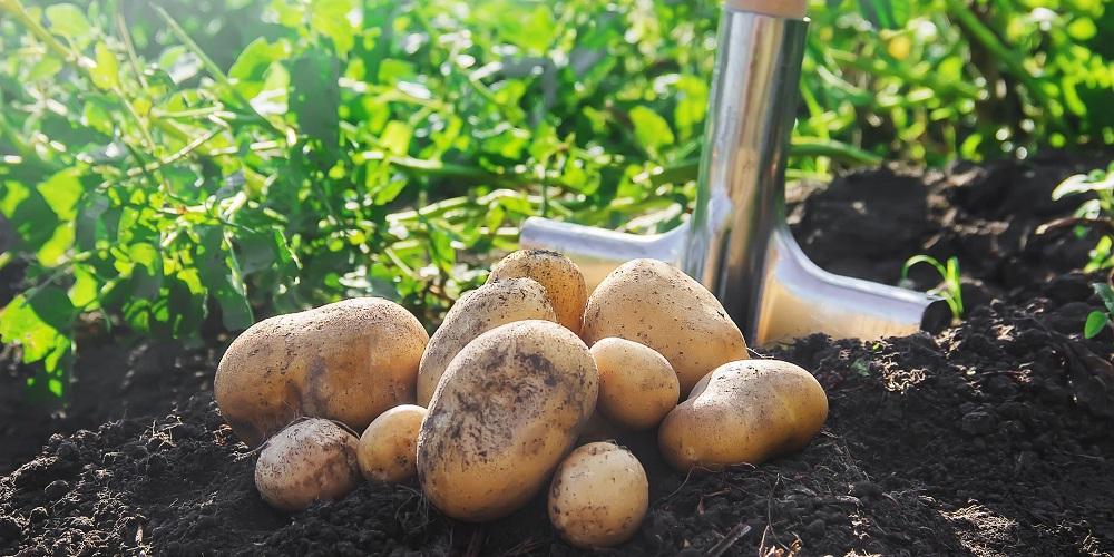 tratamentul cartofului varicos)